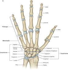 wrist-anatomy